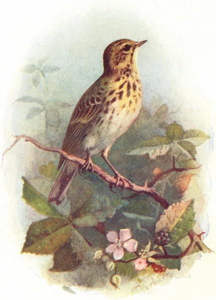 BIRDS. Tree Pipit  1901 old antique vintage print picture