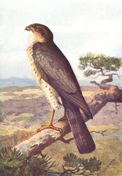 Associate Product BIRDS. Sparrow Hawk  1901 old antique vintage print picture