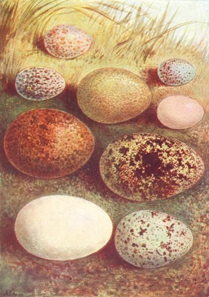Associate Product EGG. Jackdaw; Kestrel; Robin; Redpoll; Ringdove; Wryneck 1901 old print