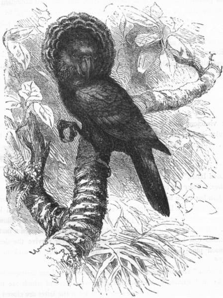 Associate Product BIRDS. Cracker. Parrot. Crested Hawk c1870 old antique vintage print picture