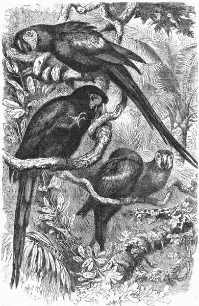Associate Product BIRDS. Cracker. Arara. Scarlet Macaw c1870 old antique vintage print picture