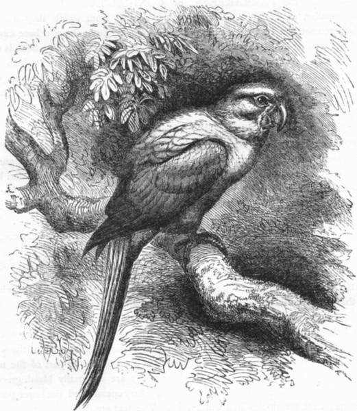 Associate Product BIRDS. Cracker. Arara. Garuba c1870 old antique vintage print picture