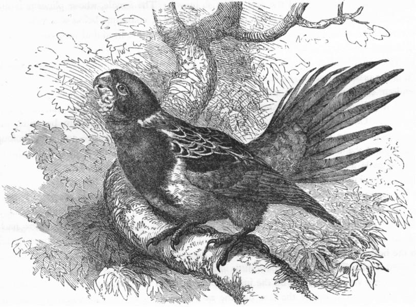 Associate Product CRACKER. Long-Tailed Parrot, Parrakeet. Rosella c1870 old antique print
