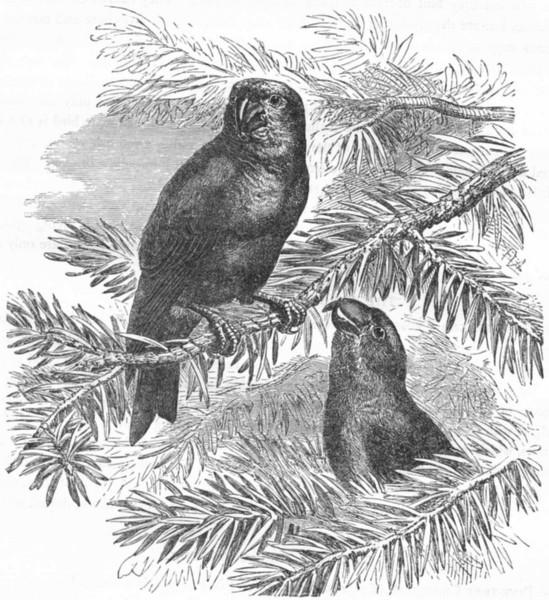 Associate Product BIRDS. Passerine. Cross-Bill. Large-Beaked  c1870 old antique print picture