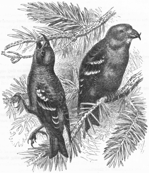 Associate Product BIRDS. Passerine. Cross-Bill. Banded  c1870 old antique vintage print picture