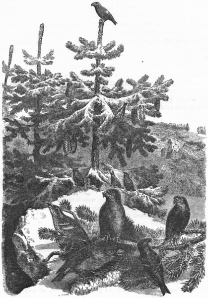Associate Product BIRDS. Passerine. Cross-Bill c1870 old antique vintage print picture