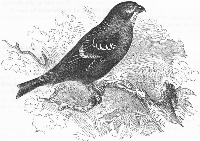 Associate Product BIRDS. Passerine. Cross-Bill. Pine Grosbeak c1870 old antique print picture