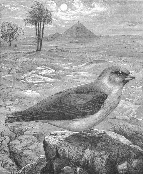 Associate Product BIRDS. Passerine. Bullfinch. Desert Trumpeter c1870 old antique print picture