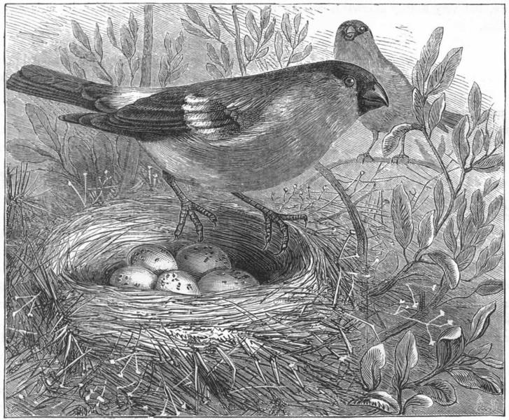 Associate Product BIRDS. Passerine. Bullfinch. Female & Nest c1870 old antique print picture