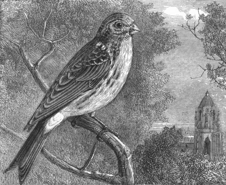 Associate Product BIRDS. Passerine. Bullfinch. Girlitz c1870 old antique vintage print picture