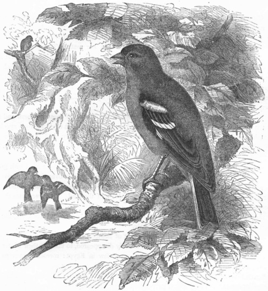 Associate Product BIRDS. Passerine. Finch. Chaffinch c1870 old antique vintage print picture