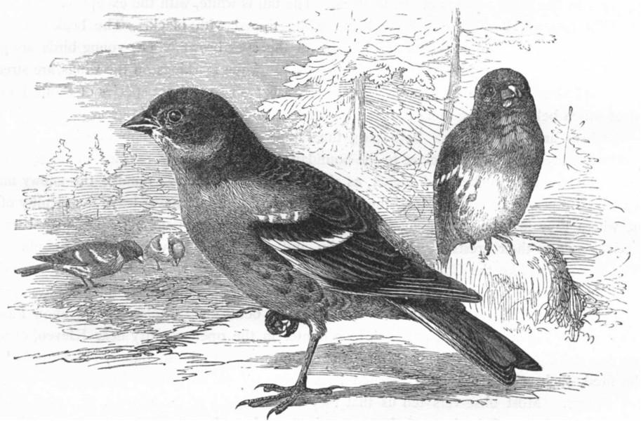 Associate Product BIRDS. Passerine. Finch. Mountain c1870 old antique vintage print picture