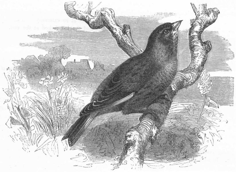 BIRDS. Passerine. Finch. Brown Linnet c1870 old antique vintage print picture