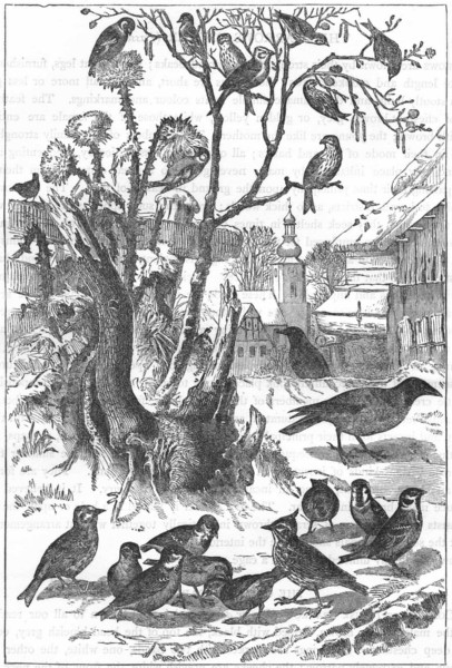 Associate Product PASSERINE SPARROW. Winter visitors to village c1870 old antique print picture