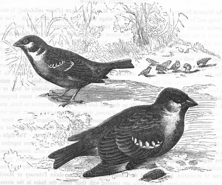 Associate Product BIRDS. Passerine. Sparrow. Tree & House c1870 old antique print picture