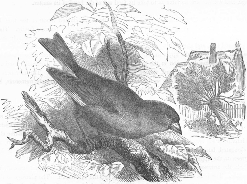 Associate Product BIRDS. Passerine. Sparrow. Green Grosbeak c1870 old antique print picture