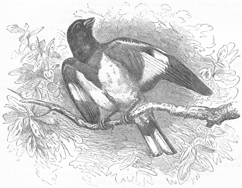 Associate Product PASSERINE SPARROW. Rose-breasted Hawfinch c1870 old antique print picture