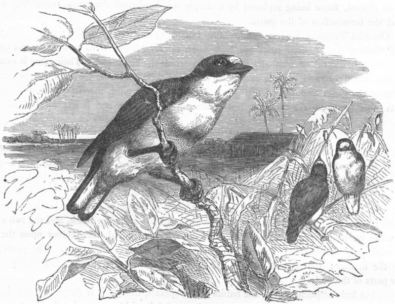 Associate Product BIRDS. Passerine. Habias. Guttarama c1870 old antique vintage print picture