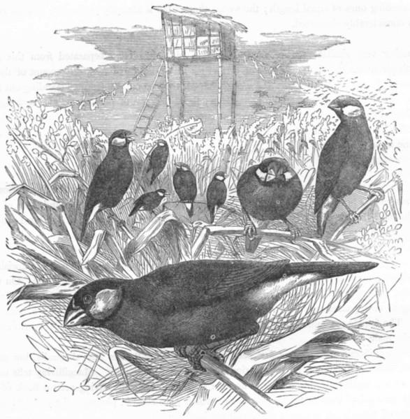 Associate Product BIRDS. Passerine. Habias. Rice Bird c1870 old antique vintage print picture