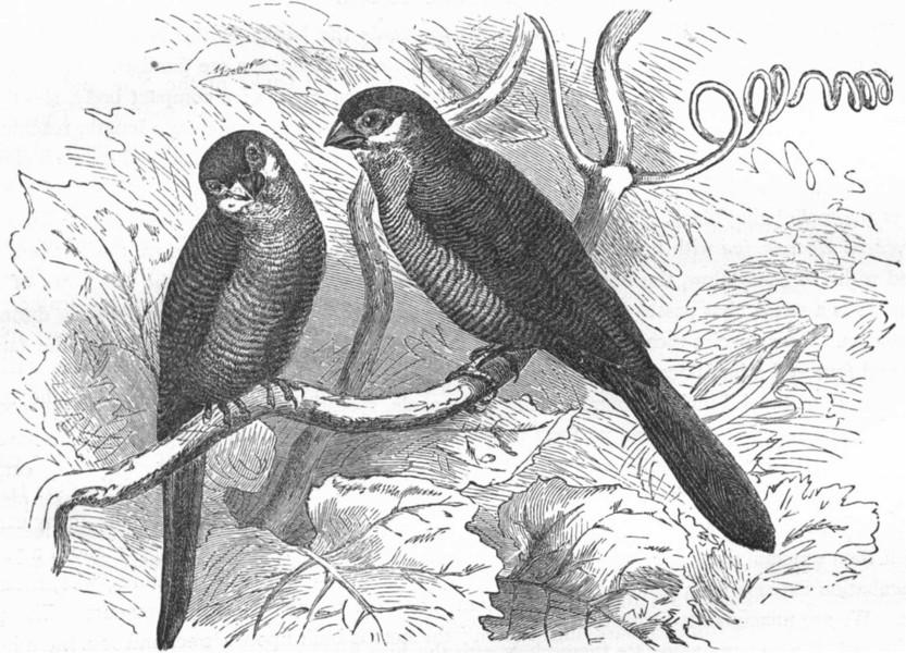 Associate Product BIRDS. Passerine. Habias. Pheasant Finch c1870 old antique print picture