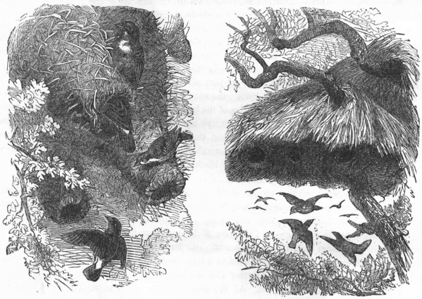 Associate Product BIRDS. Passerine. Weaver. Nest Mahali Bird; Social c1870 old antique print