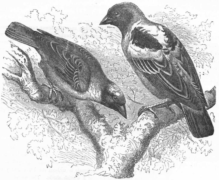 Associate Product BIRDS. Passerine. Weaver. Golden Bird & Masked c1870 antique print picture