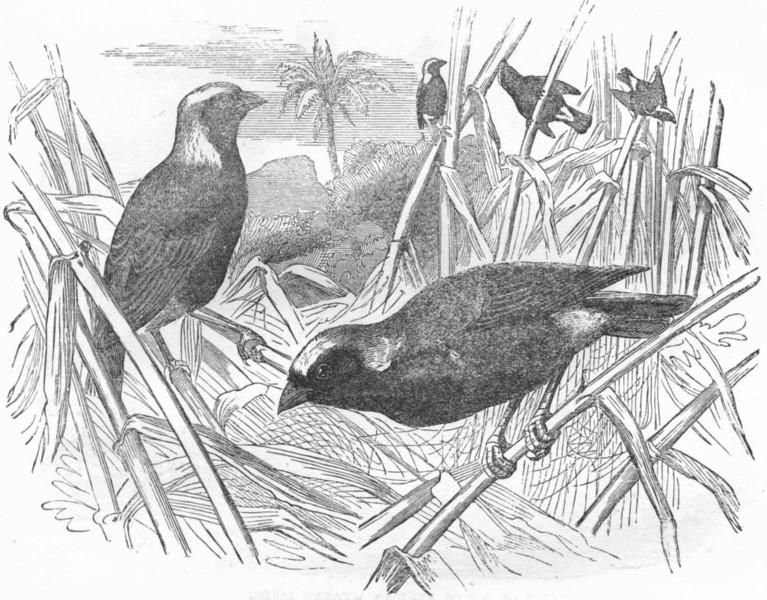 BIRDS. Passerine. Weaver. Fire Finch c1870 old antique vintage print picture