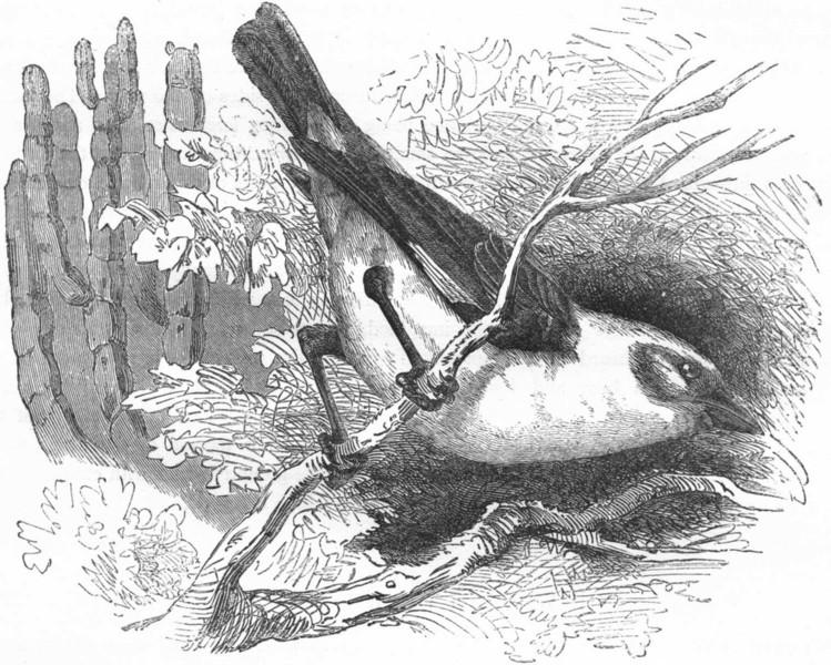 Associate Product BIRDS. Passerine. Weaver. Dinemelli's Buffalo Bird c1870 old antique print