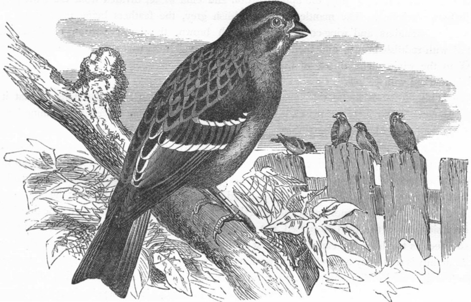 OUIDAH. Widow White-throated Song Sparrow c1870 old antique print picture