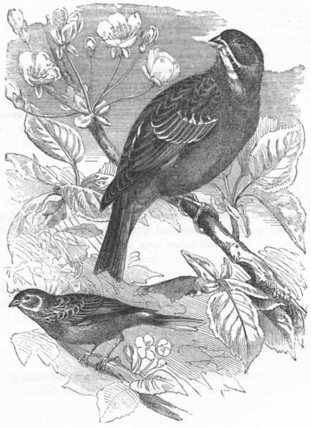 BIRDS. Passerine. Bunting. Ortolan, garden c1870 old antique print picture