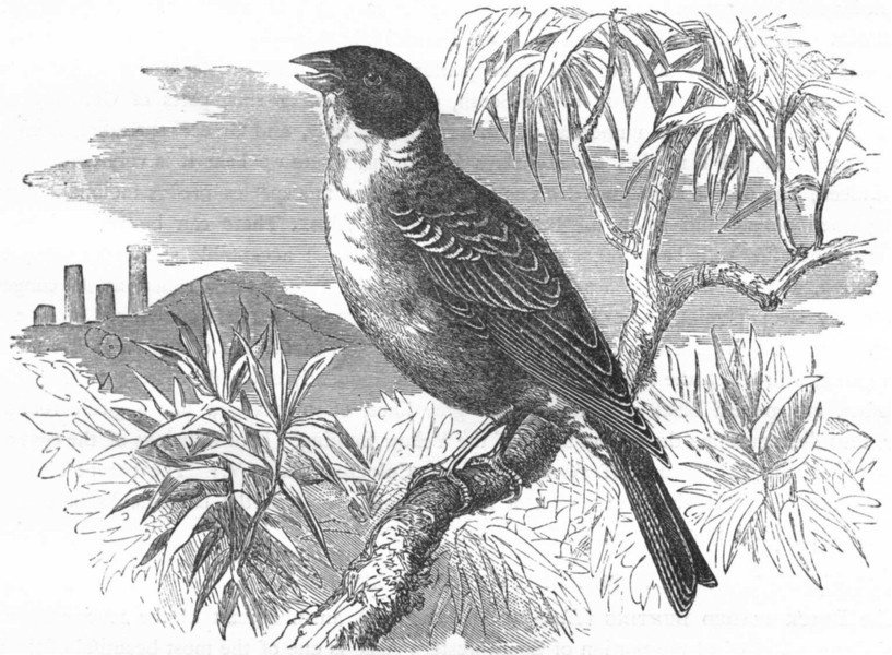 Associate Product BIRDS. Passerine. Bunting. Black-headed c1870 old antique print picture