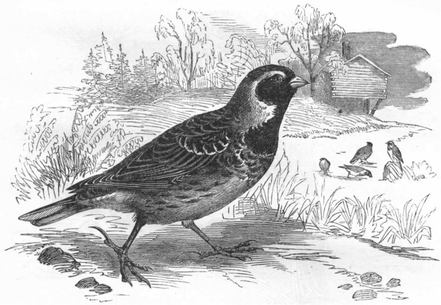 Associate Product BIRDS. Passerine. Bunting. Lark c1870 old antique vintage print picture