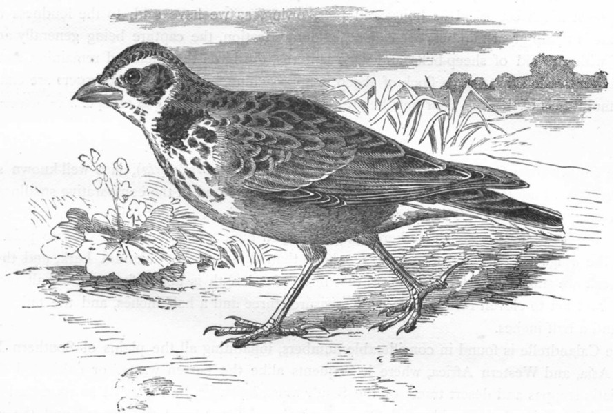 Associate Product BIRDS. Passerine. Lark. Calandra c1870 old antique vintage print picture