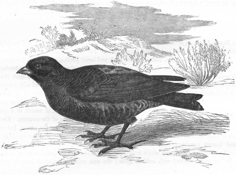 Associate Product BIRDS. Passerine. Lark. Moor c1870 old antique vintage print picture
