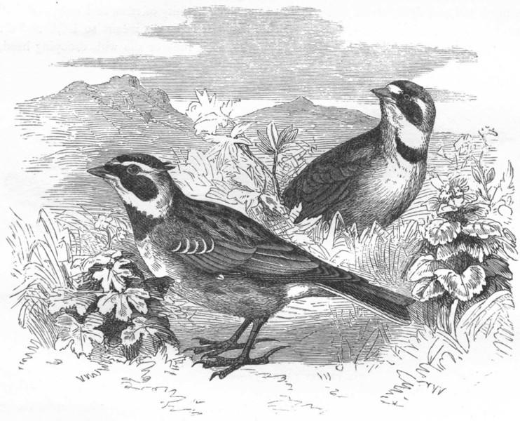 Associate Product BIRDS. Passerine. Lark. Alpine c1870 old antique vintage print picture