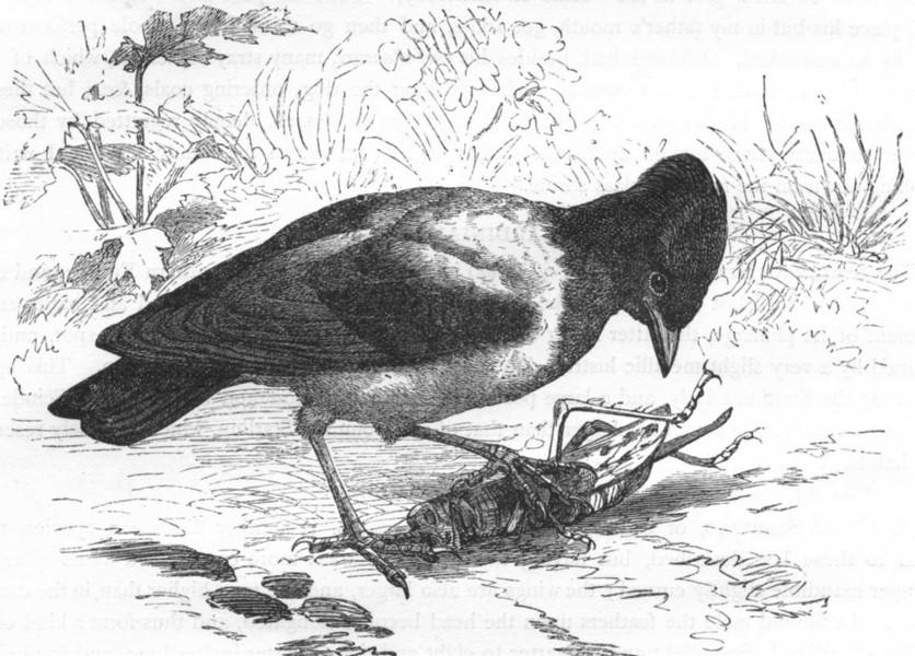 Associate Product BIRDS. Raven. Starling. Rose c1870 old antique vintage print picture