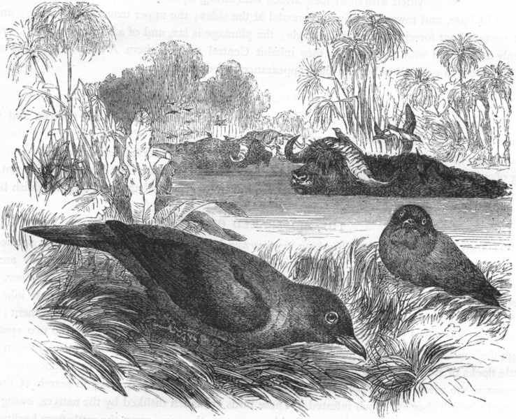 Associate Product BIRDS. Raven. Starling. Red-beaked Ox-biter c1870 old antique print picture