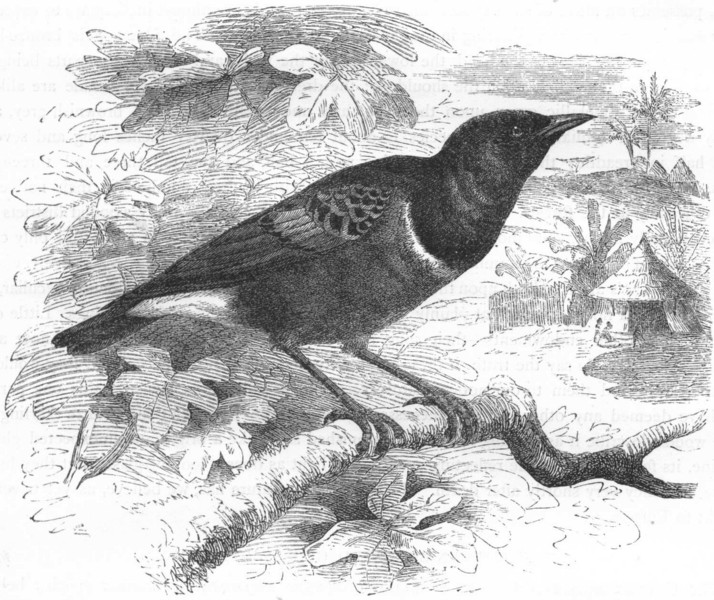 Associate Product BIRDS. Raven. Starling. Superb Glossy c1870 old antique vintage print picture