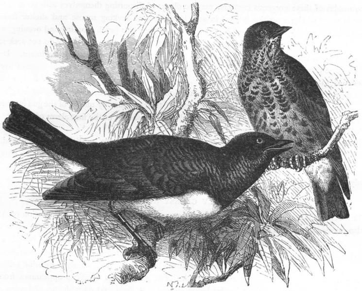 BIRDS. Raven. Starling. Scaly Glossy c1870 old antique vintage print picture