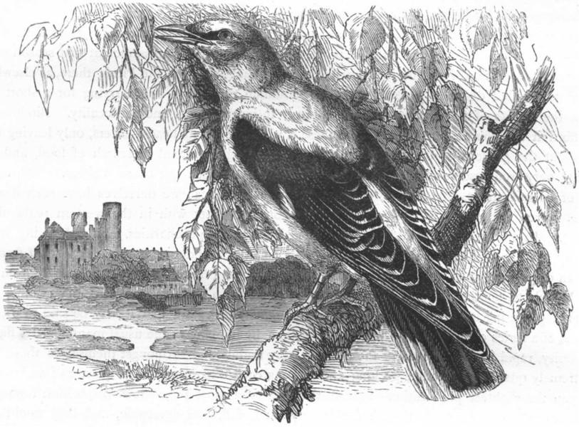 Associate Product BIRDS. Raven. Starling. Pirol, Golden Oriole c1870 antique print picture