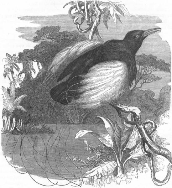 Associate Product BIRDS. Raven. Bird Paradise. Resplendent Epimachus c1870 old antique print