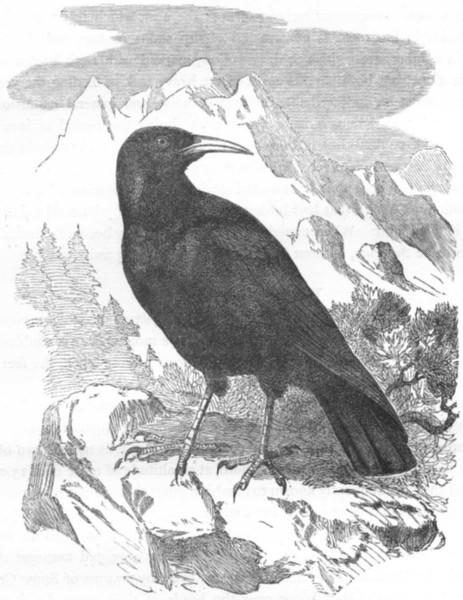 Associate Product BIRDS. Raven. Chough c1870 old antique vintage print picture