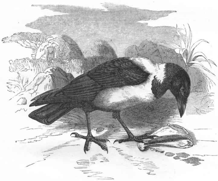 Associate Product BIRDS. Raven. Scapulated c1870 old antique vintage print picture