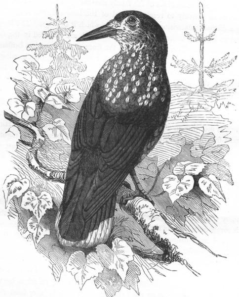 Associate Product BIRDS. Raven. Nutcracker c1870 old antique vintage print picture
