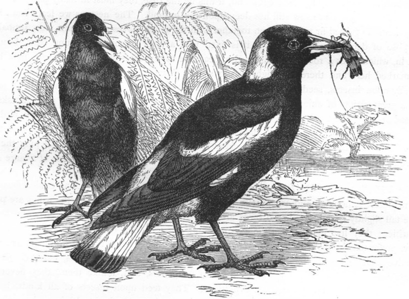 Associate Product BIRDS. Raven. Flute Bird c1870 old antique vintage print picture