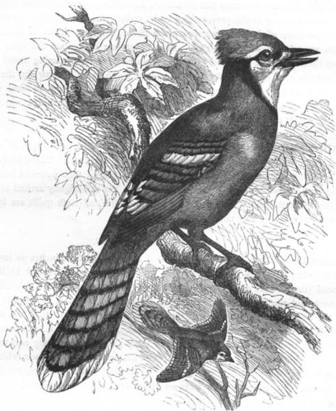 Associate Product BIRDS. Raven. Crested Blue Jackdaw c1870 old antique vintage print picture