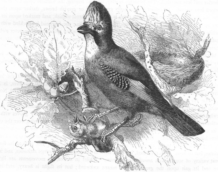Associate Product BIRDS. Raven. Common Jay c1870 old antique vintage print picture