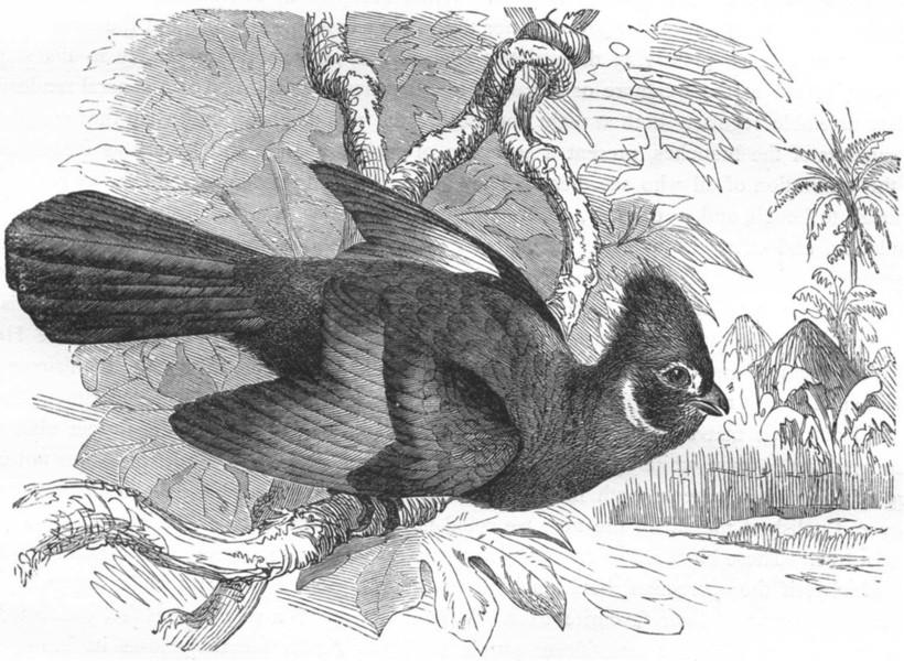 Associate Product RAVEN. Plantain Eater. White-cheeked Helmet Bird c1870 old antique print