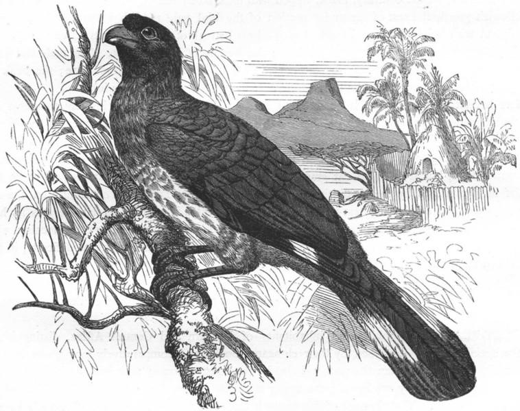 Associate Product BIRDS. Raven. Plantain Eater. Alarm Bird c1870 old antique print picture