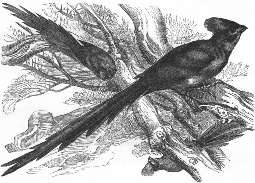 Associate Product BIRDS. Raven. Plantain Eater. Wiriwa c1870 old antique vintage print picture